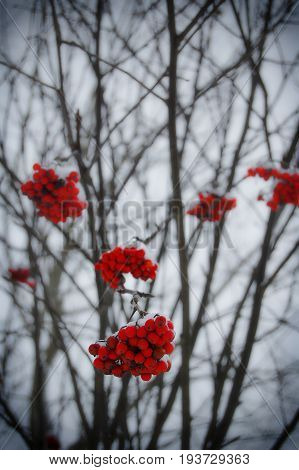 Beautiful winter specific photo. Frozen rowan-berry at wintertime. Photo with beautiful forest in the background and great lights.