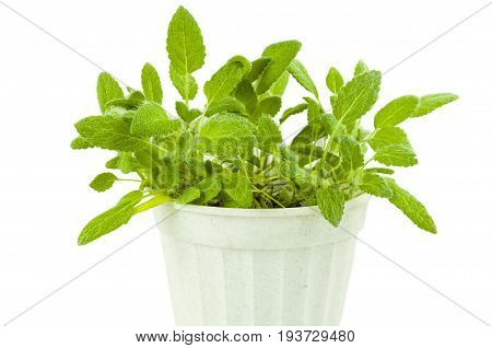 Spicy plant of sage in a white plastic pot on a white background
