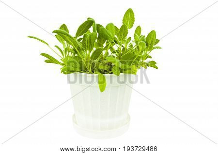 Bush sage in a white plastic pot on white background