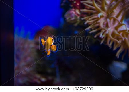 Tropical Clown Fish And Corals. Beautiful Background Of The Underwater World