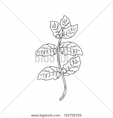 line peppermint plant ingredient to condiment of food vector illustration