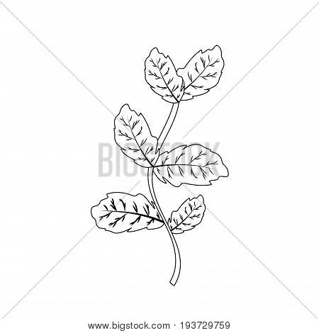 line basil plant ingredient to condiment of food vector illustration