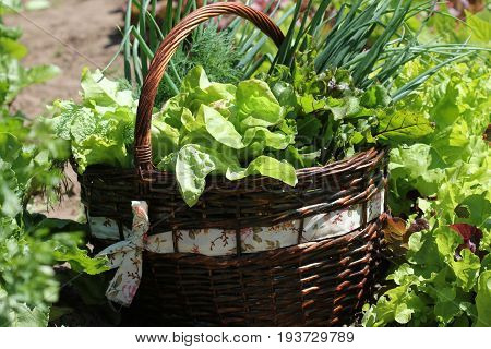 Fresh organic vegetalbles-lettuce, leek, dill, beetroot in a basket placed near a vegetable patch .