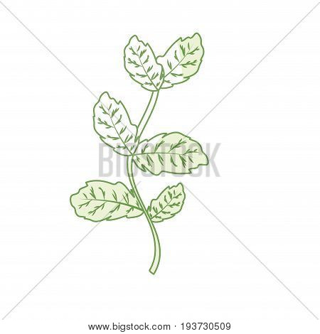 silhouette basil plant ingredient to condiment of food vector illustration