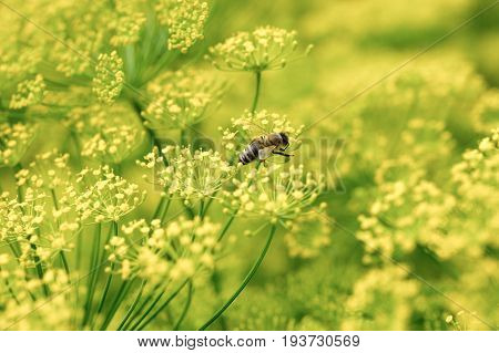Dill herbs inflorescence in a garden. Dill herbs flower with bee macro