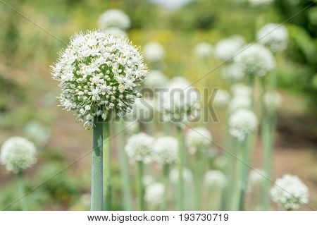 blooming onion plant in garden. Closeup of white onions flowers on summer field. Agricultural background. Summertime rural scene. Traditional ingredients for To improve the taste