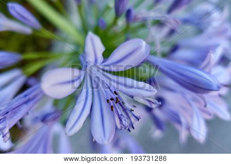 Agapanthus Flower In The Garden