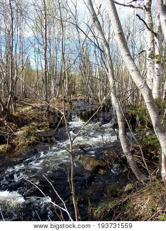 Rapid torrent spill has stream in northern spring forest of bare trees. Early spring, sunny