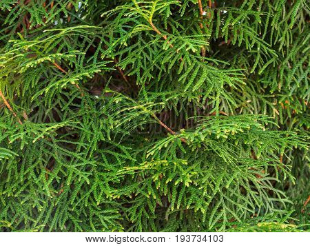 Branch of thuja closeup summer in the Park.