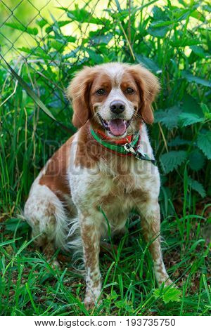 The lovely Brittany Spaniel dog in the summer garden