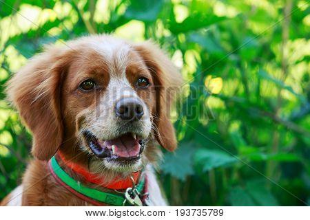 lovely Brittany Spaniel dog in the summer garden