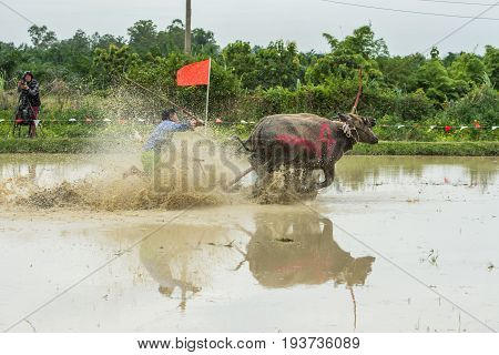 CHONBURI THAILAND - JUNE 18 2017: Buffaloes racing on rice farm the annual event in Chonburi Thailand