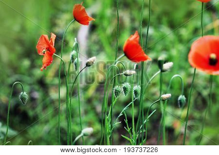 Beautiful poppy flowers on the meadow in summertime. Red meadow flowers growing in the green grass. Close up, macro view .
