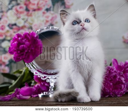 Kitten with pink pions