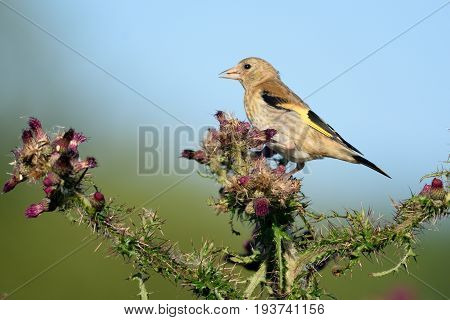 Greenfinch eating wild thistle flowers in Seaton Wetlands Devon