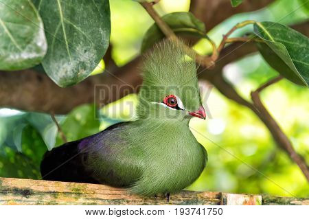 Bird small animal with red beak greeny tuft and feathers sitting on wooden perch in forest with green leaves trees on sunny summer day on natural background. Wildlife and nature. Ornithology