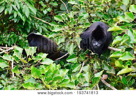 Portrait of mantled howler monkey sitting on a tree