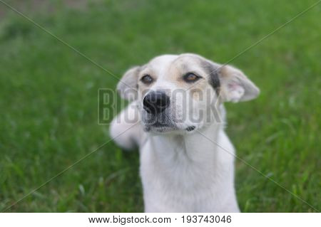 Outdoor portrait of cross-breed of hunting and northern dog against green background (shallow dof).