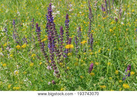 Diversity of wild herbs in Ukrainian prairie in June