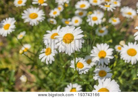 Flower-bed with garden ox-eye daisy (Leucanthemum vulgare) in early summer season