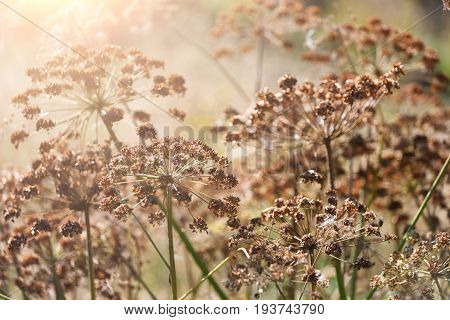 Closeup of dill umbrellas under bright sunlight. Dill growing on the field background