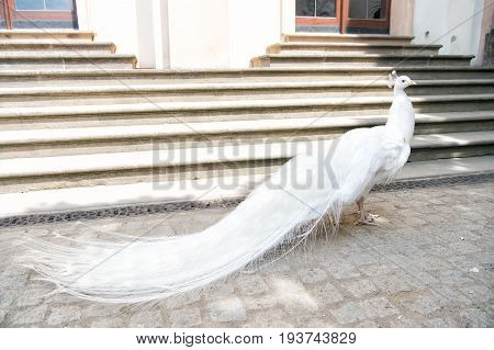White Peacocks Are Spread Tail Feathers
