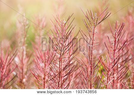 Field with fireweed flowers closeup at end of the summer. Focus on foreground, nature background