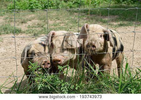 Three happy little pigs on the farm.