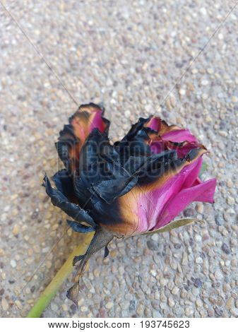 Half ashes rose Withered pink rose because of fire