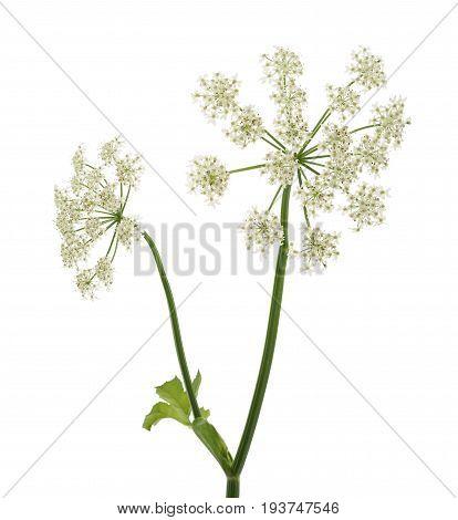 Angelica Archangelica Flowers