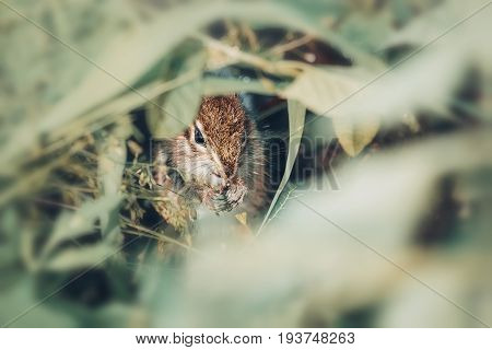 Eastern Chipmunk sitting on a green grass and eating seeds
