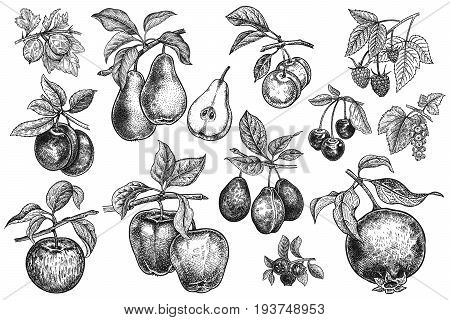 Berries and fruit big set. Apple pear plum cherry garnet blueberry raspberry gooseberry currant branches leaves isolated on white background. Hand drawing. Vintage. Black and white. Vector.