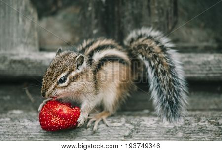 Little chipmunk eating a strawberry on a wooden fence