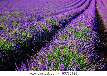 Blooming lavender field. France Provence French Alps.