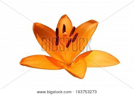 Asiatic hybrid lily 'Apeldoorn' one orange flower isolated on white.