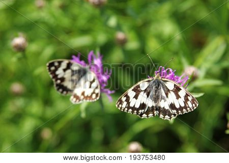 butterfly marbled white on purple wildflower closeup second butterfly in the distance