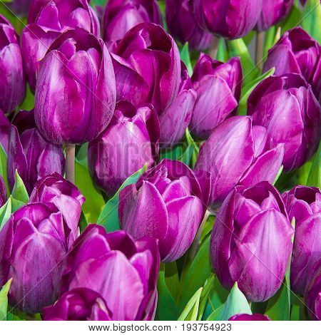 tulips in the detail - close up