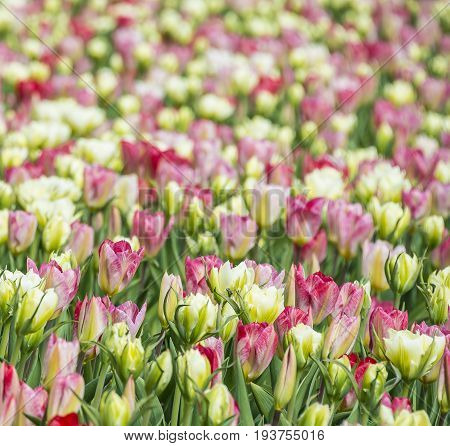 a tulips field - close up - floral texture