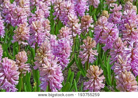 pink hyacinths in the garden - close up