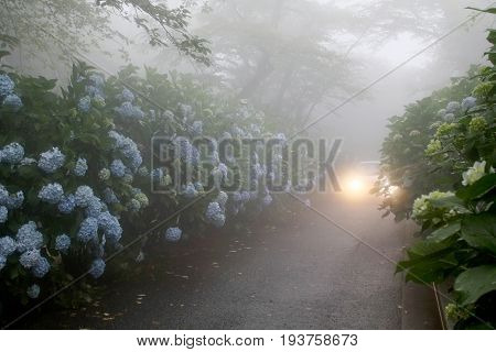 Car driving, foggy narrow road with hydrangea flowers