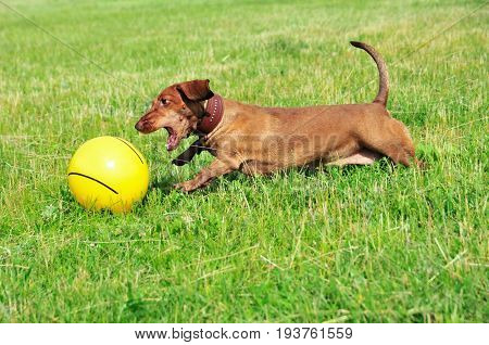 The dog is playing with the ball. Dog breed standard smooth-haired dachshund, bright red color.
