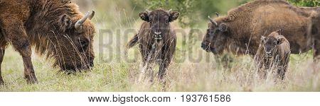 Bison bonasus - European bison - Milovice Czech republic