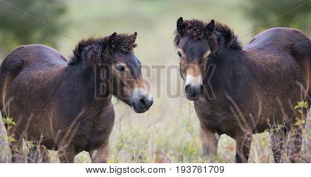 exmoor ponies in reserve Milovice - Crech republic