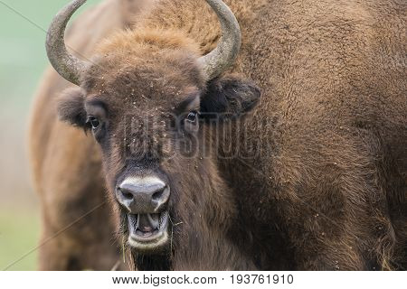 Bison bonasus - European bison - in reserve Milovice, Czech republic, Europe