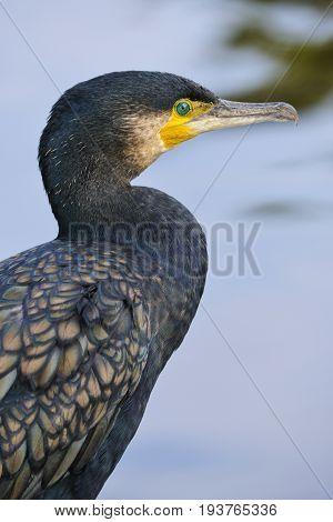 Great cormorant - Phalacrocorax carbo close up