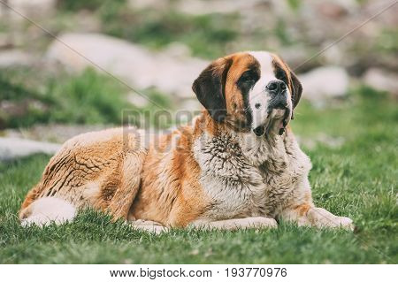 St. Bernard Or St Bernard Dog Sit Outdoor In Green Spring Meadow. The St. Bernard Or St Bernard Is A Breed Of Very Large Working Dog From The Western Alps In Switzerland, Italy And France For Rescue