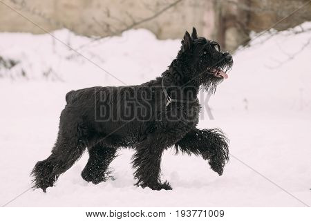 Funny Young Black Giant Schnauzer Or Riesenschnauzer Dog Walking Outdoor In Snow, Winter Season. Playful Pet Outdoors.