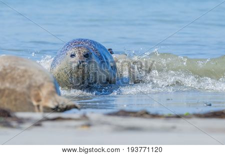 seal on a beach - Helgoland island in Germany