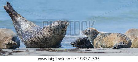 seal (Phoca vitulina) on a beach - Helgoland Germany