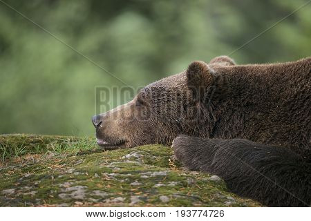 brown bear - Ursus arctos close up
